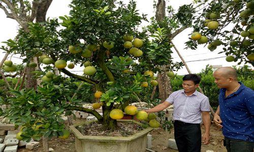 Về vùng bưởi cảnh Văn Giang