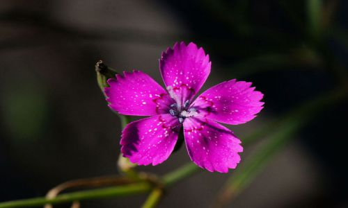 Vẻ đẹp của loài hoa tượng trưng cho tình yêu trong sáng
